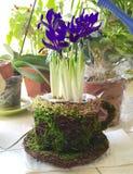 Flores de los iris en un pote Fotografía de archivo libre de regalías