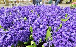 Flores de los jacintos Imágenes de archivo libres de regalías