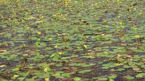 Flores de los lirios de agua en el agua metrajes