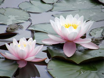 Flores de los lirios de agua Fotos de archivo