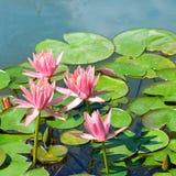 Flores de los lirios de agua Fotos de archivo libres de regalías