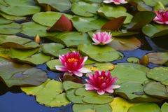 Flores de los lirios de agua Imagen de archivo