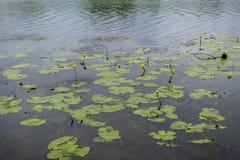 Flores de los lirios de agua amarilla Fotos de archivo libres de regalías