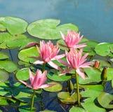 flores de los lirios de agua en una charca Imagen de archivo