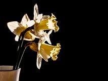 Flores de los narcisos foto de archivo libre de regalías