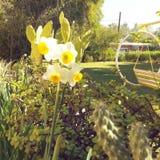 flores de los narges en la yarda Fotografía de archivo