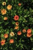 Flores de los officinalis del calendula en el jardín fotos de archivo
