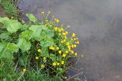 Flores de los palustris del Caltha de una charca Foto de archivo