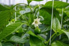 Flores de los paprikas verdes dulces, paprika, creciendo en el vidrio g Foto de archivo libre de regalías