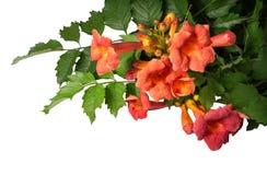 Flores de los radicans de Campsis aisladas en el fondo blanco Imagen de archivo libre de regalías