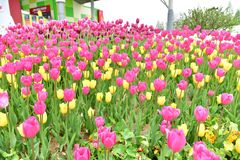 Flores de los tulipanes Foto de archivo libre de regalías