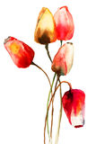 Flores de los tulipanes Fotografía de archivo libre de regalías