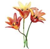 Flores de los tulipanes Ejemplo de la acuarela para su Imagenes de archivo