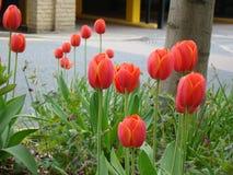 Flores de los tulipanes en la calle Foto de archivo libre de regalías