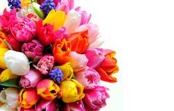 Flores de los tulipanes de la primavera en el fondo blanco Fotos de archivo