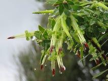 Flores de los viridis del Styphelia empapadas en gotas de agua del invierno imagenes de archivo