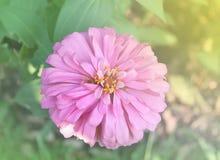 Flores de los Zinnias Imágenes de archivo libres de regalías