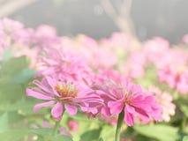 Flores de los Zinnias Foto de archivo