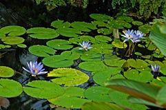 Flores de loto Imagen de archivo libre de regalías