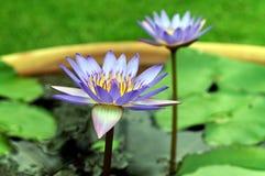 Flores de loto Foto de archivo libre de regalías