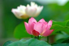 Flores de loto Imagenes de archivo