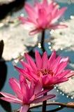 Flores de loto Fotos de archivo libres de regalías