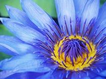 Flores de loto azul florecientes Fotos de archivo libres de regalías