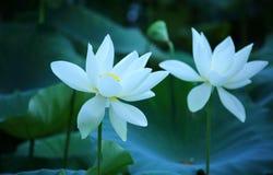 Flores de loto blanco Fotos de archivo libres de regalías