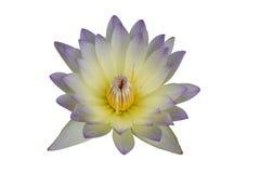 Flores de loto blanco púrpuras aisladas en el fondo blanco Imágenes de archivo libres de regalías