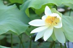 Flores de loto blanco que florecen en la charca Foto de archivo libre de regalías