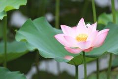 Flores de loto blanco que florecen en la charca Imagen de archivo