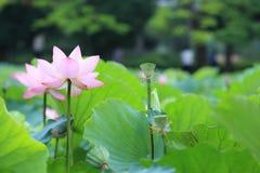 Flores de loto blanco que florecen en la charca Fotografía de archivo