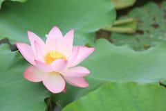 Flores de loto blanco que florecen en la charca Imagen de archivo libre de regalías