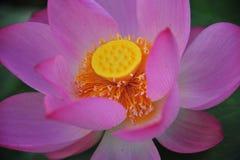 Flores de loto del pistilo- Imagen de archivo libre de regalías