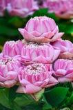 Flores de loto dobladas del rosa del pétalo Foto de archivo libre de regalías