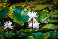 Flores de loto en la charca Imagenes de archivo