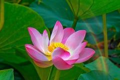 Flores de loto grandes brotes rosados brillantes de la flor de loto que flotan en el lago Foto de archivo