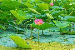 Flores de loto grandes brotes rosados brillantes de la flor de loto que flotan en el lago Fotografía de archivo libre de regalías