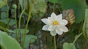 Flores de loto hermosas metrajes