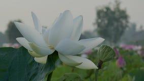Flores de loto hermosas almacen de metraje de vídeo