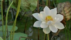 Flores de loto hermosas almacen de video