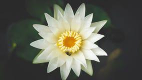 Flores de loto hermosas en jardín Foto de archivo
