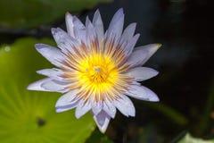 flores de loto de la floración en laguna Imagen de archivo libre de regalías