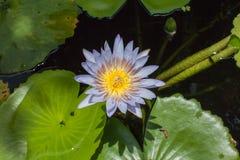flores de loto de la floración en laguna Imagenes de archivo