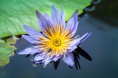 flores de loto de la floración en laguna Fotografía de archivo libre de regalías