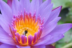 Flores de loto púrpuras Fotos de archivo libres de regalías