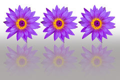 Flores de loto púrpuras con la reflexión aisladas en el backgroun blanco Foto de archivo libre de regalías