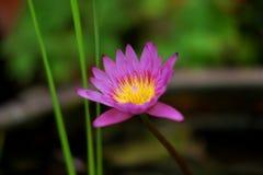 Flores de loto púrpuras hermosas naturales foto de archivo libre de regalías