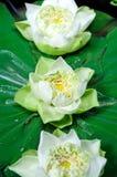 Flores de loto que flotan en una charca Foto de archivo libre de regalías