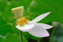 Flores de loto rosadas Fotografía de archivo libre de regalías